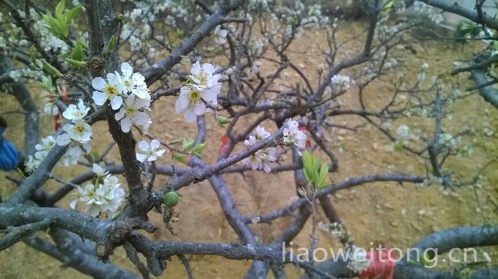 三华李开花