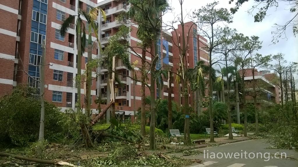 2015湛江台风彩虹,削断的树木