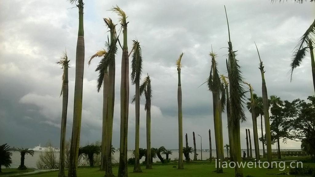 2015湛江台风彩虹,椰子树被剃光
